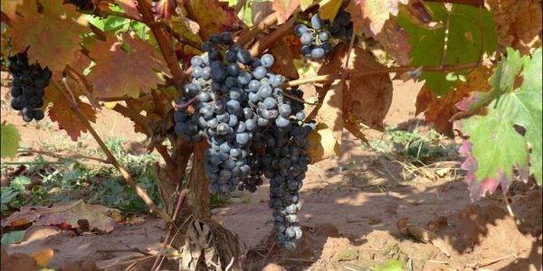 Edle Weinrebe. Rote Farbstoffe sind fast immer nur in der Schale enthalten