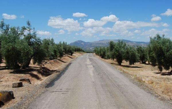 Immer wieder führt der Jakobsweg durch Olivenhaine