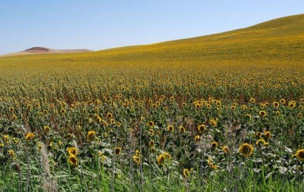 Sonnenblumen bis zum Horizont
