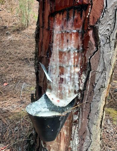 Harzgewinnung in den Pinienwäldern östlich von Nazaré