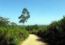 Einsamer Eukalyptus-Baum auf dem Höhenweg