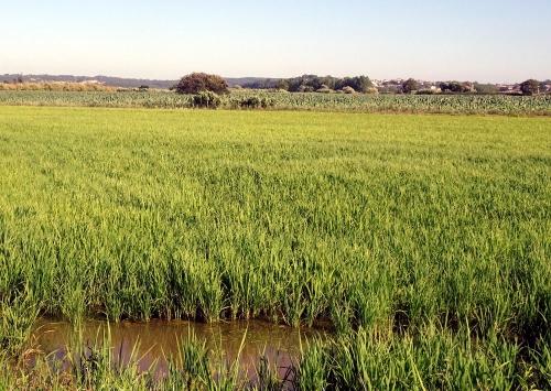 Reisanbau kurz vor Sismaria.