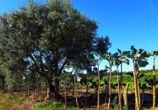 Hier wächst der Kohl fast so hoch wie die Olivenbäume.