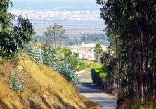 Der Caminho hinab nach Figueira da Foz ist gesäumt von Eukalyptus-Bäumen.