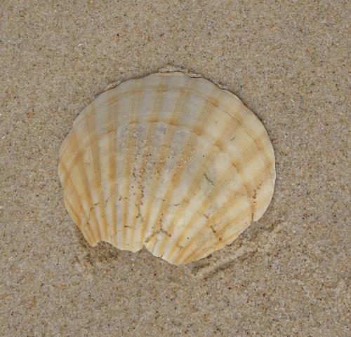 Jakobsmuschel am Strand vor Praia da Tocha.