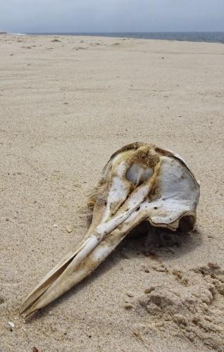 Allerlei Strandgut. Hier der Schädel eines ...