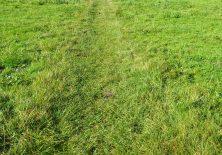 Die Kühe sabotieren den Jakobsweg über die Wiese.