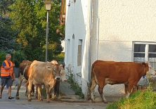 Abends kommen die Kühe nach Hause.