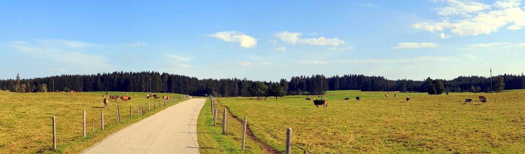 Der Weg führt an Kuhweiden entlang